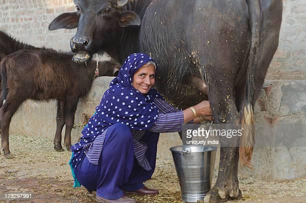 Woman milking a Water Buffalo (Bubalus Bubalis), Sonipat, Haryana, India