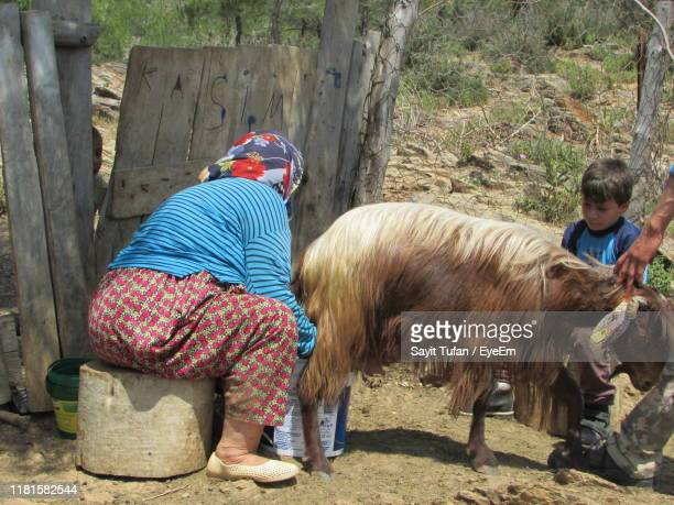 woman milking goat while sitting on seat - man milking woman stock photos and pictures