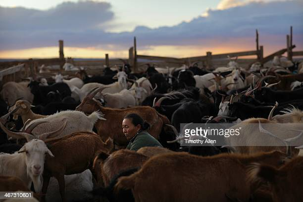 woman milking goats on a gobi desert farm - omnogov stock pictures, royalty-free photos & images