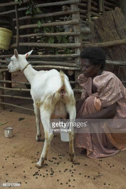 Woman milking Saanen dairy goat by hand Mbale Uganda Africa