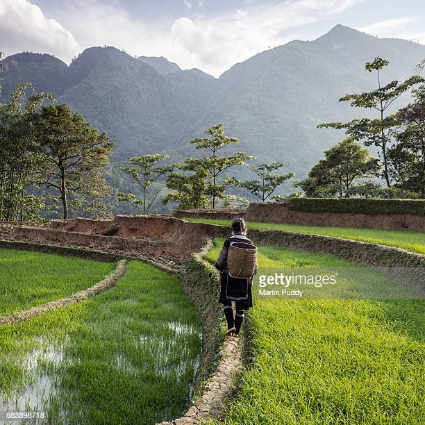 woman of black hmong hill tribe walking through rice paddy - sapa stock pictures, royalty-free photos & images