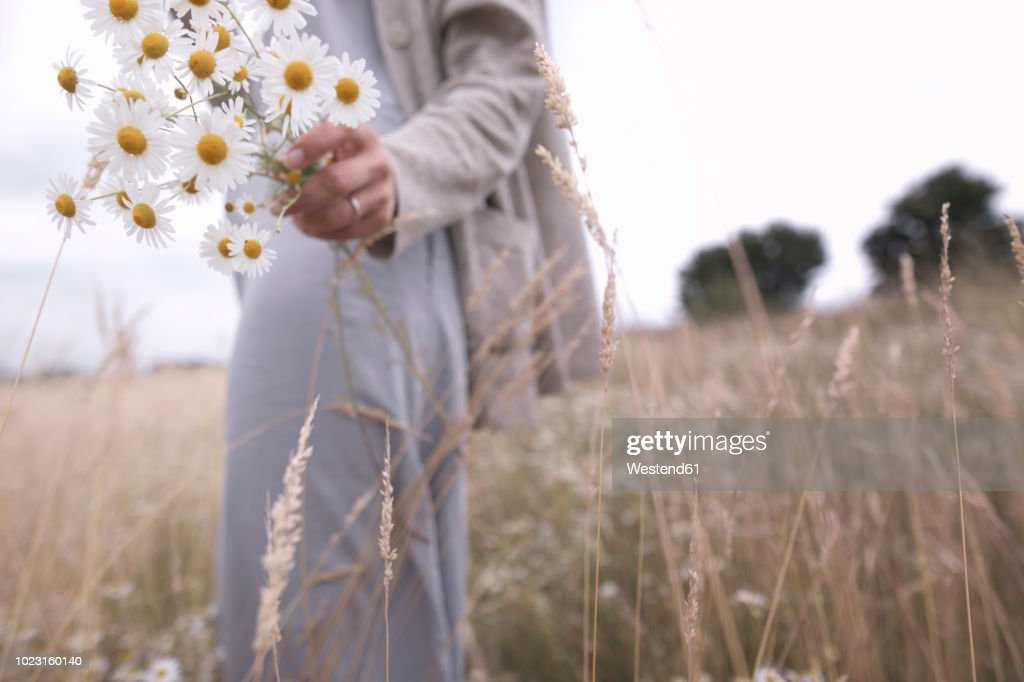 Woman on a field holding bunch of picked chamomiles, partial view : Stock Photo