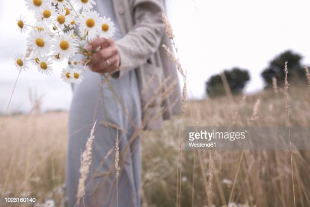 woman on a field holding bunch of picked chamomiles, partial view - chamomile tea stock photos and pictures