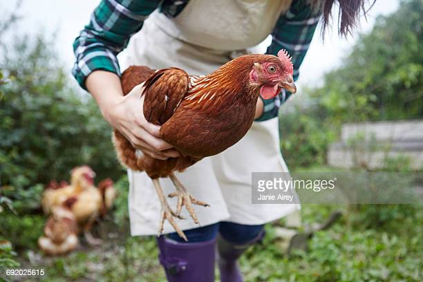 woman on chicken farm holding chicken - chicken bird stock pictures, royalty-free photos & images