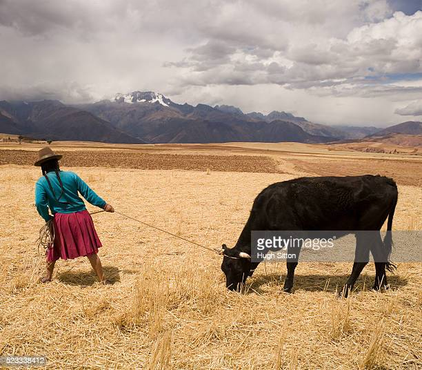 woman on harvested field tugging cow - hugh sitton stockfoto's en -beelden