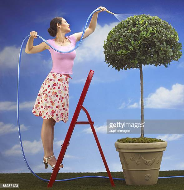 Woman on ladder watering topiary with hose