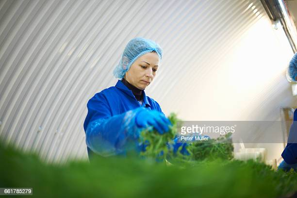Woman on production line wearing hair net packaging vegetables