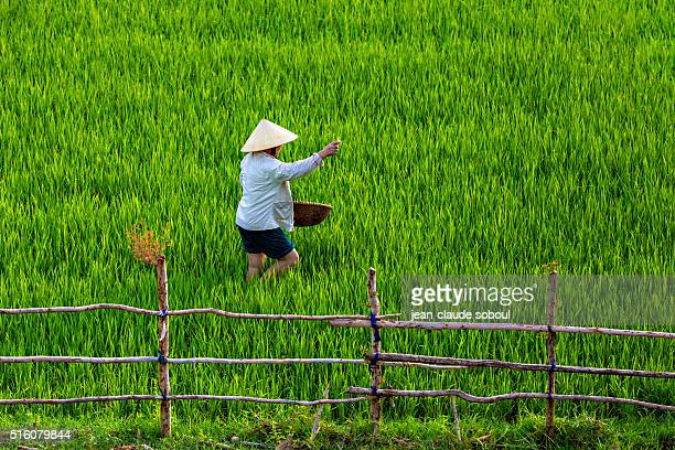 woman on rice field in phonf nha district - phong nha kẻ bàng national park stock photos and pictures