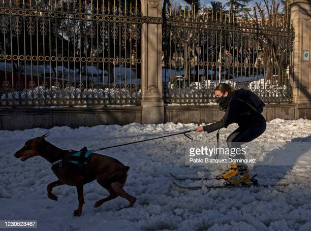 Woman on skis is pulled by her dog on a snowy street a day after the heaviest snowfall in decades on January 10, 2021 in Madrid, Spain. Storm...