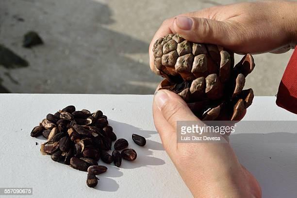 woman opening pine cones