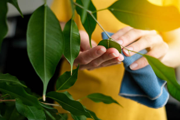 A Woman or a Girl with a Damp Cloth in Her Hands Wipes and Cleans a Houseplant from dust, at home. The Gardener or Housekeeper Takes care of the Ficus Leaves. The concept of caring for flowers, cleaning the space in the house, real life.
