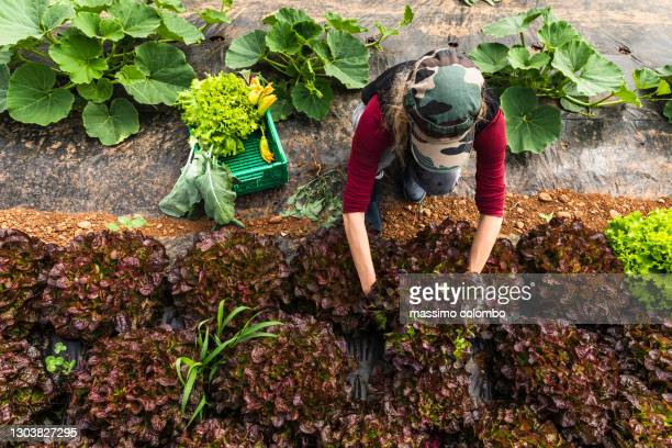 woman organic farmer harvesting salad plants in greenhouse, aerial view. - agricultural occupation stock pictures, royalty-free photos & images
