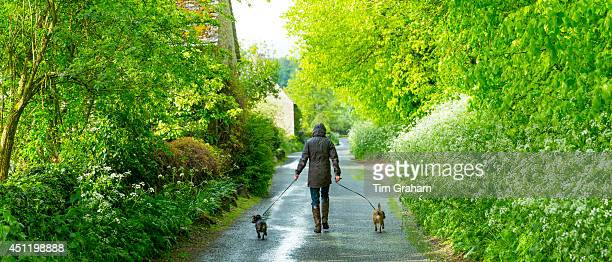 Woman out for a stroll with a pair of terrier dogs along a country lane on a rainy day at Swinbrook in The Cotswolds, UKModel and property...