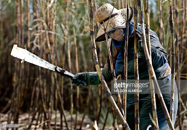 A woman peasant cuts sugar cane with a machete during harvest in the Usina Bonfim farm in Guariba 400 km from Sao Paulo on June 6 2008 While other...