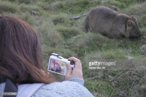 woman photographing a female wombat in tasmania australia - rafael ben ari stock-fotos und bilder