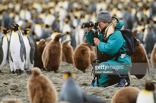 woman photographing king penguins (aptenodytes patagonicus), side view - fauna silvestre fotografías e imágenes de stock