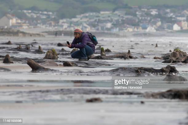 A woman photographs one of the petrified ancient trees on May 24 2019 in Borth Wales A prehistoric forest which was buried under water and sand more...
