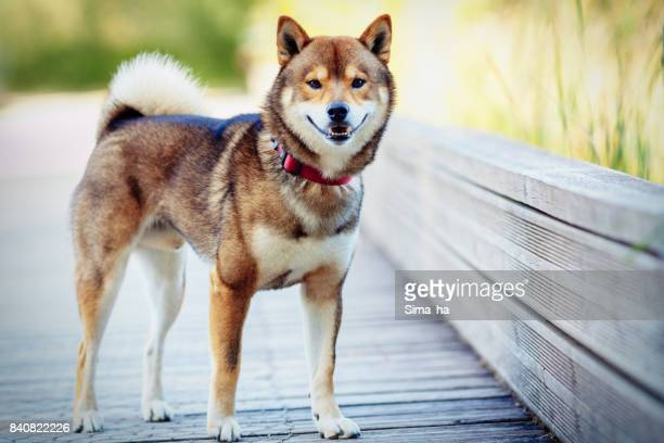 A woman photographs the Shiba inu