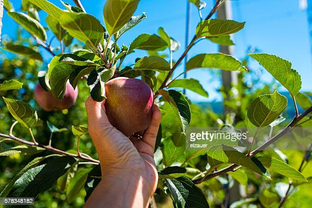 A woman picking a apple  in an orchard.
