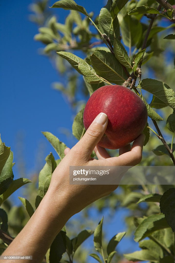 Woman picking apple from tree, close-up : Foto stock