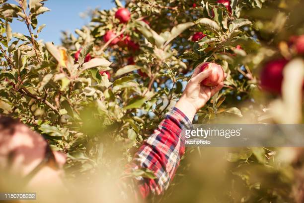 woman picking apples from tree - heshphoto stock pictures, royalty-free photos & images