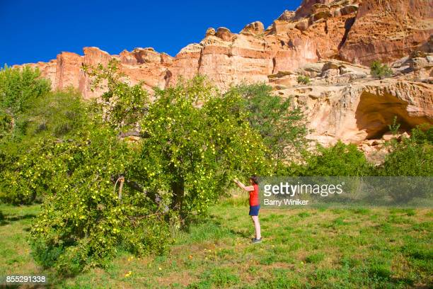 woman picking apples in fruita, near capitol reef np, utah - fruita colorado stock pictures, royalty-free photos & images