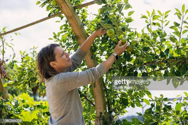 woman picking apples - albero da frutto foto e immagini stock