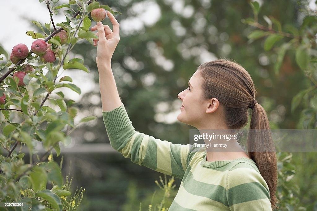 Woman picking apples : Bildbanksbilder