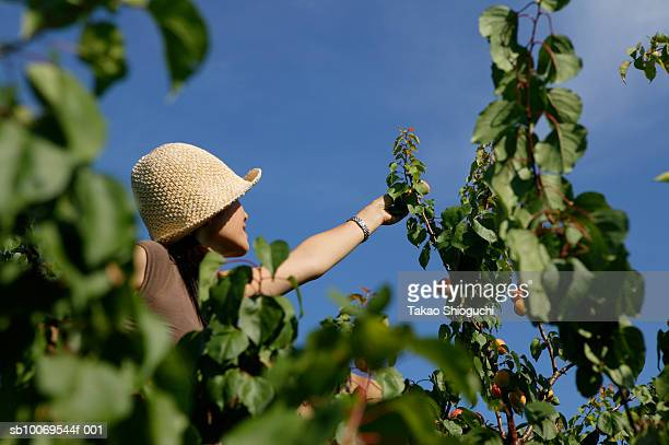 Woman picking apricots in orchard