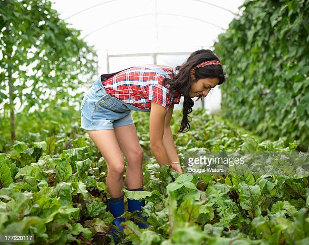 woman picking beetroot in poly tunnel. - beautiful women bent over stock photos and pictures
