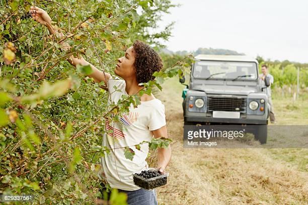 a woman picking blackberries from the hedgerow in autumn. - foerageren stockfoto's en -beelden