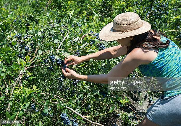 Woman picking blueberries from a blueberry bush