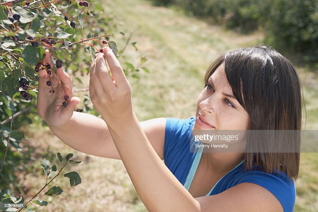 Woman picking blueberries : Foto stock