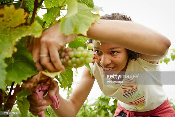 A woman picking bunches of grapes in a vineyard.