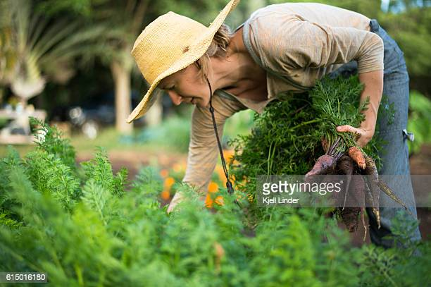 Woman picking carrots from garden