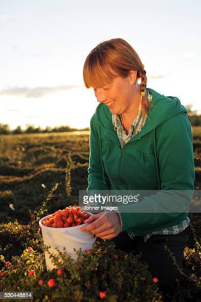 Woman picking cloudberries