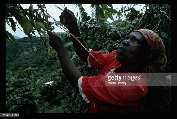 Woman Picking Coffee Cherries Jamaica