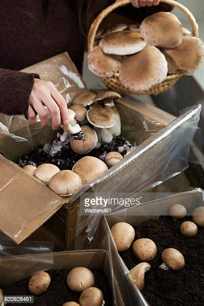 Woman picking crimini mushrooms cultivated in boxes