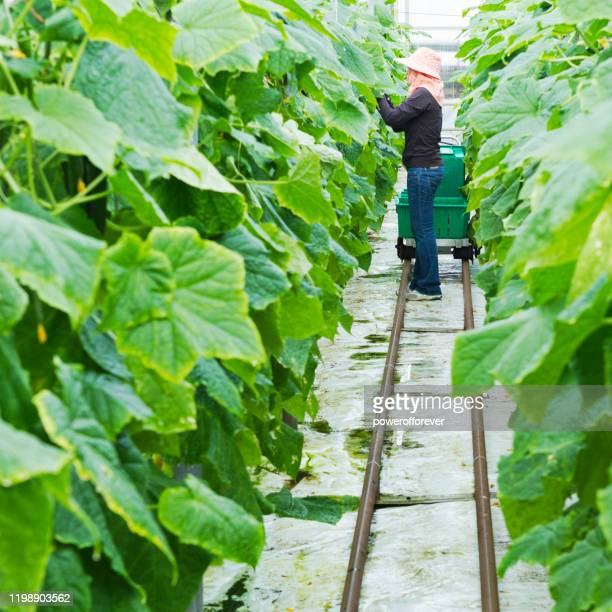woman picking cucumbers off vines in a commercial organic hydroponic greenhouse - powerofforever stock pictures, royalty-free photos & images