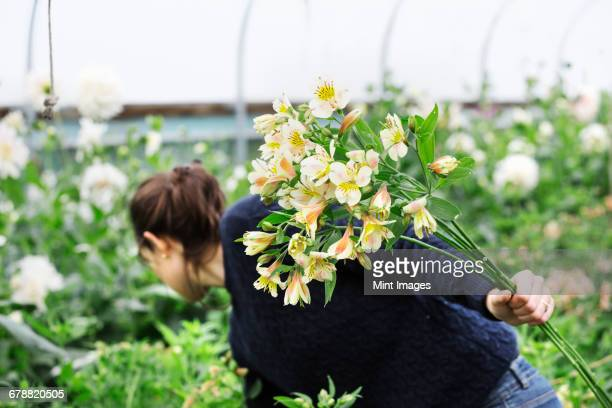 A woman picking cut flowers from the cuttings beds in a polytunnel.