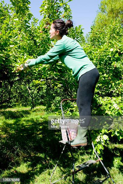 Woman picking damson plums in an orchard