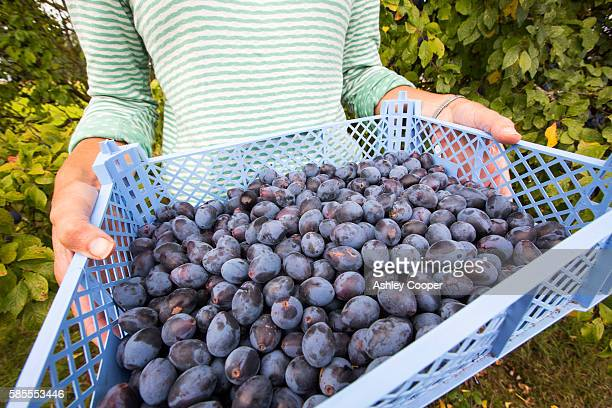 A woman picking Damsons growing in an orchard near Pershore, Vale of Evesham, Worcestershire, UK.