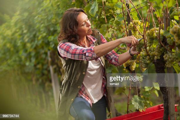 woman picking grapes in vineyard - viniculture stock pictures, royalty-free photos & images