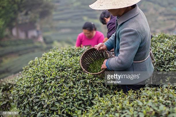 woman picking green tea - china oriental - fotografias e filmes do acervo