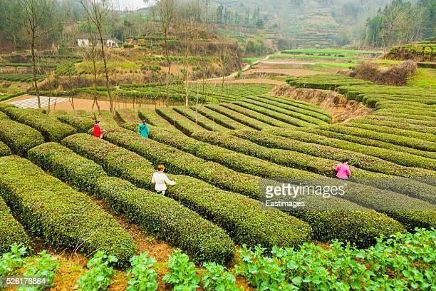 Woman picking green tea,Hanzhong,China.