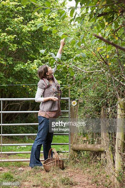 woman picking hazelnuts from a tree with a basket by her feet. - worcestershire stock pictures, royalty-free photos & images