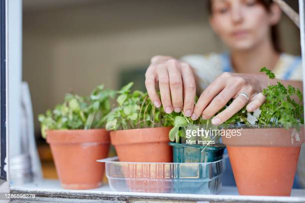 woman picking home-grown herbs growing on windowsill - window stock pictures, royalty-free photos & images