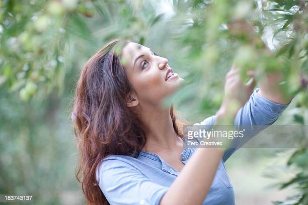woman picking olives in olive grove - grove_(nature) stock pictures, royalty-free photos & images