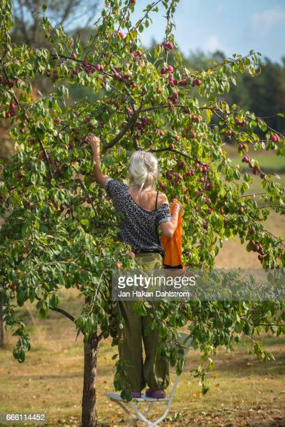 Woman picking plums from tree