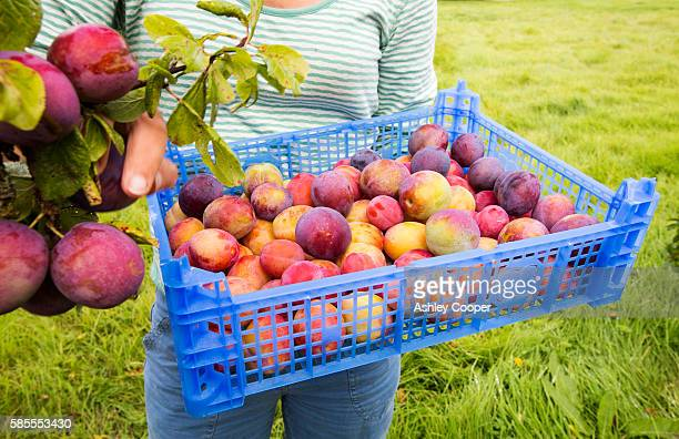 A woman picking Plums growing in an orchard near Pershore, Vale of Evesham, Worcestershire, UK.